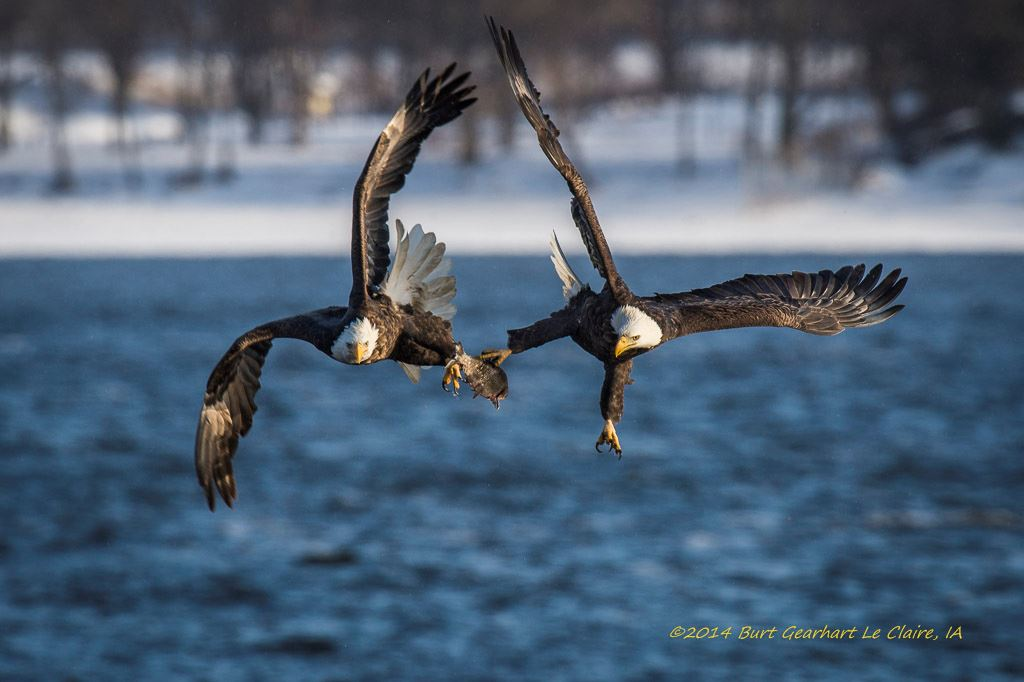 Bald eagles of LeClaire