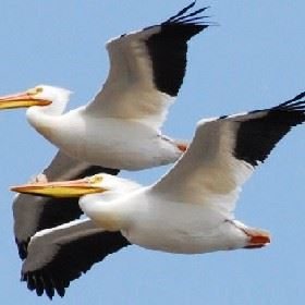Spring and Summer Pelicans